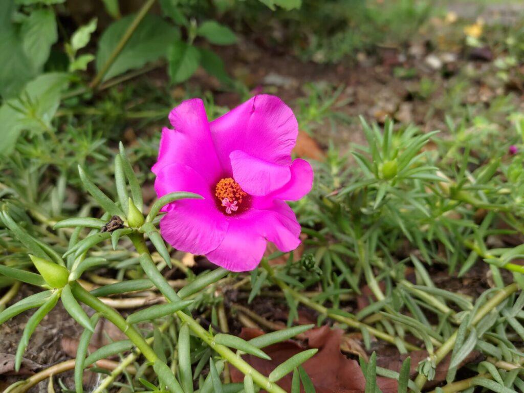 「Zenfone 8」での写真(花)